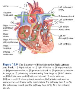 anatomi kortikosteroid